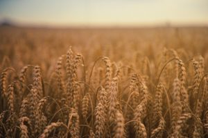 crop-cropland-depth-of-field-1105396